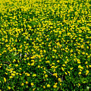 Green Field Of Yellow Flowers 3 Art Print