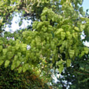 Green Fizalis Plant Art Print