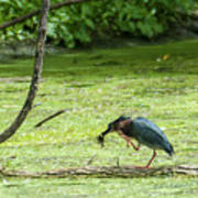 Green Heron Lunch Art Print