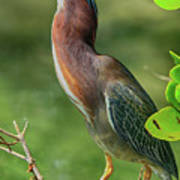 Green Heron Pose Art Print