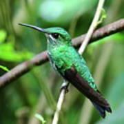 Green Crowned Brilliant Hummingbird Art Print