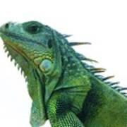 Green Iguana 1 Art Print
