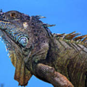 Green Iguana Art Print