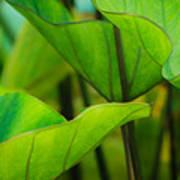 Green Leaves At Cantigny Art Print
