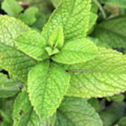 Green Mint Leaves Art Print