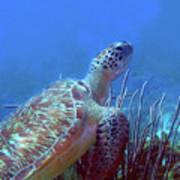 Green Sea Turtle 3 Art Print