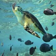 Green Sea Turtle Balicasag Island Art Print
