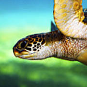 Green Sea Turtle Art Print by Marilyn Hunt