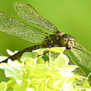 Green Spotted Dragonfly 2 Art Print