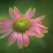Green Tipped Coneflower Art Print