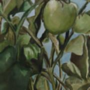 Green Tomatoes On The Vine Art Print