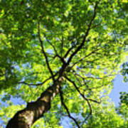 Summer Tree Canopy Art Print