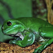 Green Tree Frog With A Smile Art Print by Kaye Menner