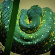 Green Tree Python Art Print