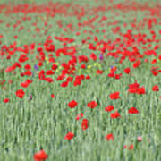 Green Wheat And Red Poppy Flowers Field Art Print