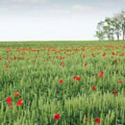 Green Wheat Field Spring Scene Art Print