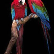 Green Winged Macaw Portrait Art Print