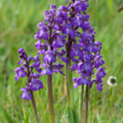 Green-winged Orchids Art Print