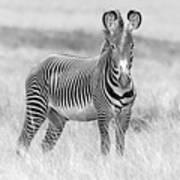 Grevy Zebra  5953bw Art Print