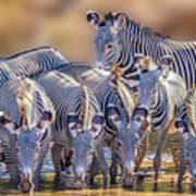 Grevy Zebra Party  7528 Art Print