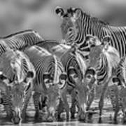 Grevy Zebra Party  7528bw Art Print