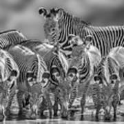 Grevy Zebra Party  7528bwc Art Print