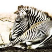 Grevy's Zebra Art Print by Bill Tiepelman