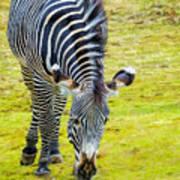 Grevys Zebra Left Art Print