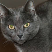 Grey Cat With Yellow Eyes Art Print