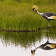 Grey Crowned Crane - Signed Art Print