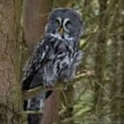 Grey Owl 3 Art Print