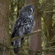 Grey Owl 4 Art Print