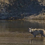 Grey Wolf In The Yellowstone River-signed-#4363 Art Print