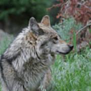 Grey Wolf Profile 2 Art Print