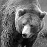 Grizzly Bear And Black And White Art Print