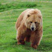 Grizzly Bear Approaching In A Field Art Print