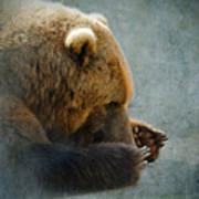 Grizzly Bear Lying Down Art Print