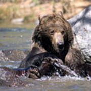 Grizzly Bear Plays In Water Art Print