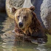 Grizzly Bear - San Diego Zoo Art Print