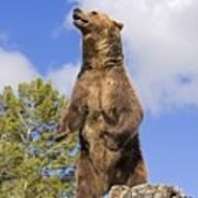 Grizzly Bear Standing On A Ridge Art Print