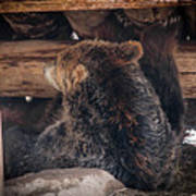 Grizzly Bear Under The Cabin Art Print