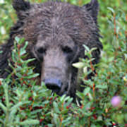Grizzly In The Berry Bushes Art Print