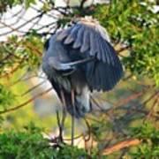 Grooming Blue Heron Art Print