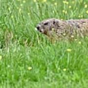 Groundhog In A Field Of Flowers Art Print