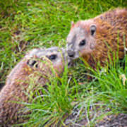 Groundhog Mother Love Art Print