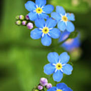 Group Of Blue Flowers Forget-me-not Art Print