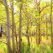 Grove Of Aspens On An Autumn Day Art Print