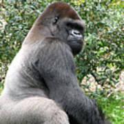 Grumpy Gorilla Art Print