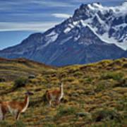 Guanacos In Patagonia Art Print