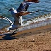 Gull Fight Art Print